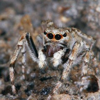 Distinguished jumping spider