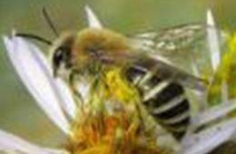 Image - Sea Aster Mining Bee