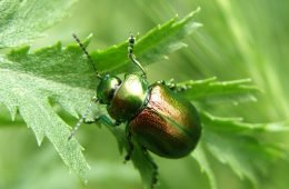 Image - Tansy Beetle