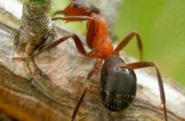 Image - Narrow-headed Ant Project
