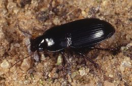 Image - Breckland Ground Beetles